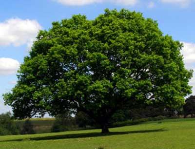 Australian Oak trees - 花粉症にめっちゃ効く!抗ヒスタミン薬「ジルテック」は日本に持って帰れるのか?など豪州の花粉症対策について